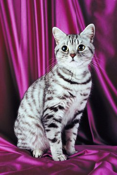 Silver tabbies are the most popular American shorthairs.