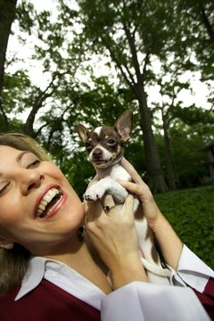 Chihuahuas' tiny teeth collect big tartar buildups.