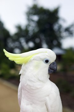 A cockatoo is easily identifiable by its head plumage.