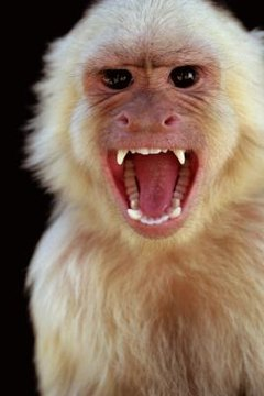 What if You Are Caught With a Capuchin in Florida? | Animals