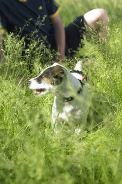 Ideally, Jack Russell terriers work at what they were bred to do -- hunting vermin on farms.