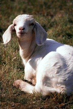 cracked corn pygmy goats