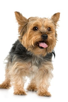 Grow your silky terrier's hair out with a few simple techniques.