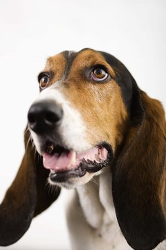 Hounds have a distinctive, resonant howl.