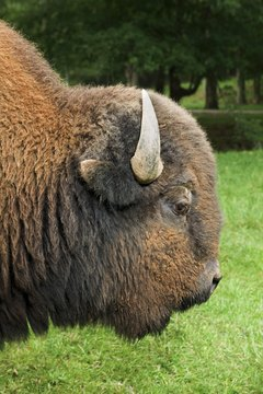 Bison meat contains many important nutrients.