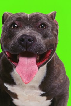 Pit Bull Neurological Disorders - Pets