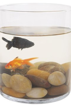Goldfish live well together.