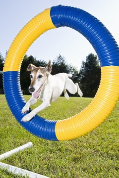 Energetic and playful, your fox terrier needs plenty of exercise and control.