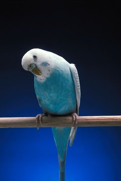 Timid parakeets take a little time to get used to new surroundings before eating and drinking.
