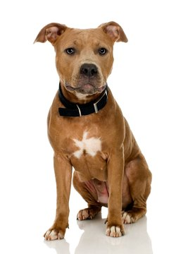 The pit bull is known formally as the American Staffordshire terrier.