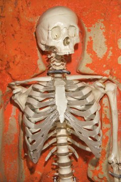 The axial skeleton includes the bones in the skull, spinal column and rib cage.