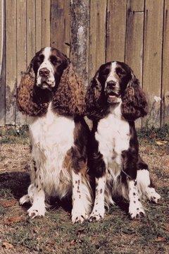 "These Springer Spaniels probably are from conformation or ""bench"" lines, judging from the profuse feathering on their ears."