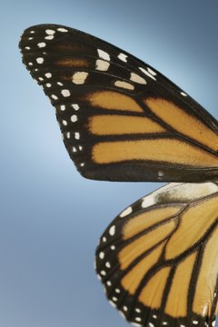 The monarch butterfly is one species that migrates.
