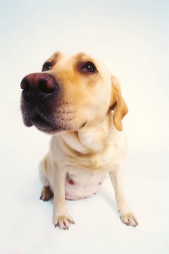 Yellow labs can suffer from allergies.