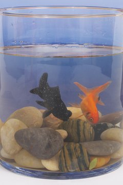There are many varieties of goldfish, but all prefer cooler water than most aquarium fish.