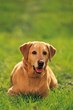 Osteosarcoma occurs more frequently in large breeds like the Labrador retriever.