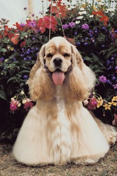 Golden-colored show-type American cocker spaniels are the most popular in the U.S.