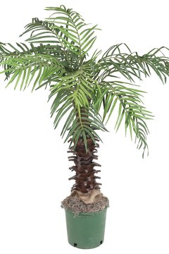 The lady palm, or Rhapis excelsa, is a member of the palm family of plants.