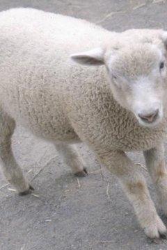 Grooming Sheep | Animals - mom me