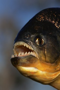 Many Amazon fish prefer tannin-stained water.