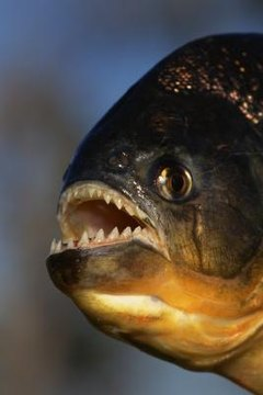 Difference Between Female & Male Red-Bellied Piranhas | Animals - mom me