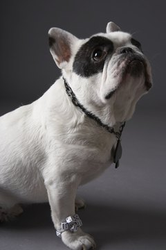A pregnant French bulldog will have different nutritional requirements from before pregnancy.