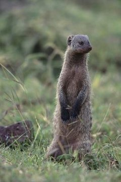 Can I Keep a Mongoose as a Pet? | Animals - mom me