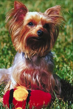 Consider neutering your Yorkie to calm him down.