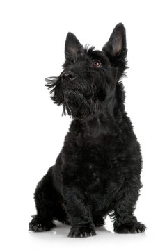 Modern Scottish terriers are often bred for coat quality and color.