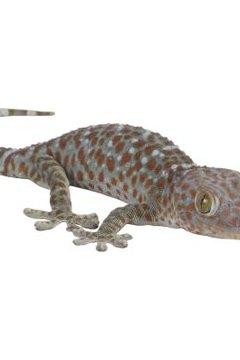 Weight of geckos to deternine sex