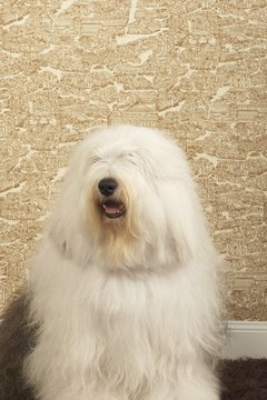 You'd be hard-pressed to find a hairier dog than the Old English sheepdog.