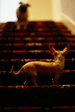 Carpeted stairs are just a magnet for dog fur.