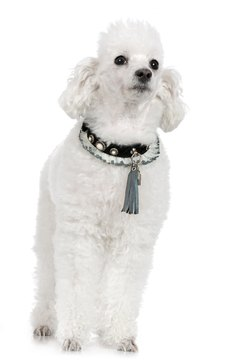 Poodles come in two coat textures and a variety of colors.