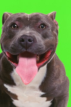 How to Care for Blue Nose Pit Bulls | Animals - mom.me