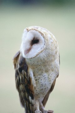 Difference Between A Male Amp Female Barn Owl Animals Mom Me