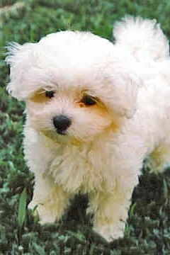 How To Choose A Maltese Puppy Animals Momme