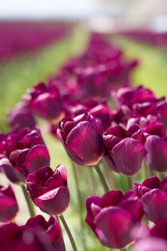 Purple tulips represent royalty.