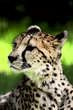 One of the most endangered animals, there are only about 40 Amur Leopards left.