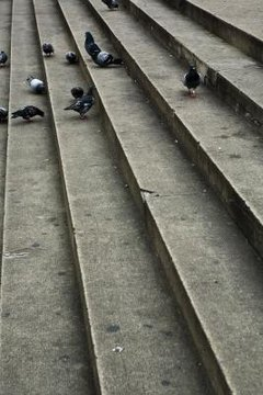 Pigeons make a louder coo when danger is nearby.