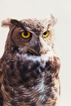 """The trademark """"hoo hoo"""" sound is attributed to the great horned owl."""