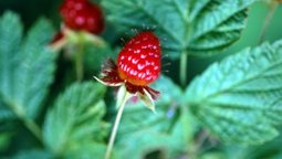 Tips on Growing Raspberry Bushes