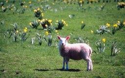 Los diferentes grados de lana dan precios diferentes en el mercado.