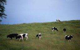 Para comprobar la calidad de la vaca que compras, debes tener en cuenta su producción anual de leche, si es una vaca lechera, por ejemplo.