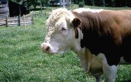 La raza Polled Hereford es una de las que se crían en los ranchos de ganado.