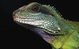 Los herpetólogos estudian el comportamiento de los lagartos así como de otros reptiles y anfibios.