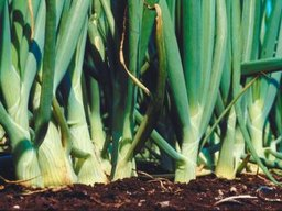 How to Grow Australian Brown Onions From Seeds