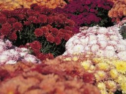 How to Water Mums Plants