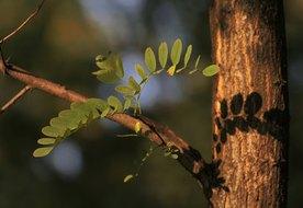 What Is Acacia Fiber?