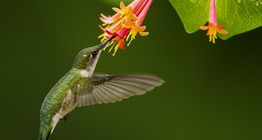 What Are The Times For Hummingbirds In Kansas Sciencing