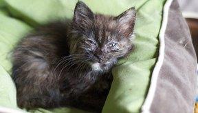 Una infección en los ojos del gatito puede ser causada por alergias, infecciones, daño físico o por alguna enfermedad respiratoria felina.